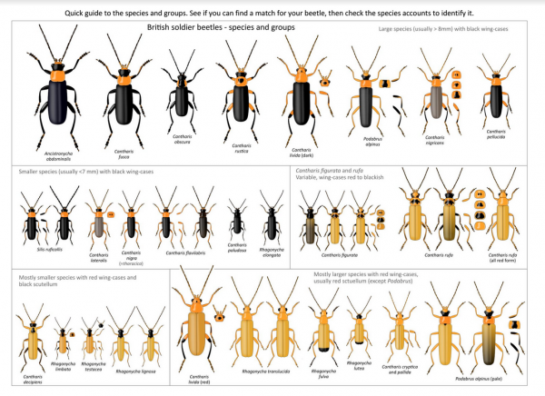 Mark Gurney's guide to soldier beetles