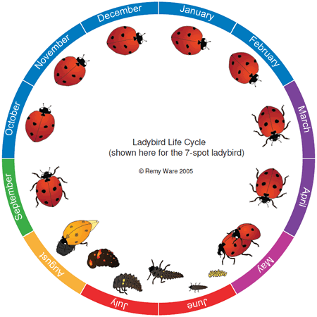 Diagram illustrating ladybird life cycle.