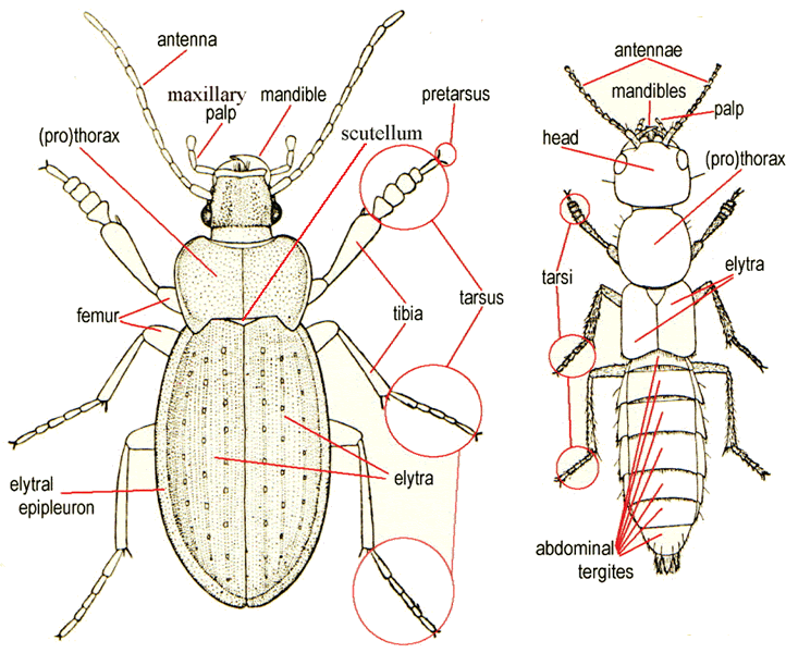 Diagram of beetle morphology