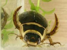 Dytiscus diving beetle (image by Evanherk)