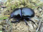 Dor beetle (image by John Walters)